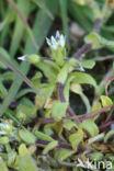 Zandhoornbloem (Cerastium semidecandrum)