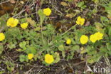 Knolboterbloem (Ranunculus bulbosus)