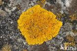 Oranje dooiermos (Xanthoria calcicola)