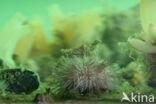 Kleine zeeappel (Psammechinus miliaris)