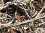 Stronkmier (Formica truncorum)