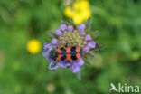 Behaarde Bijenwolf (Trichodes alvearius)