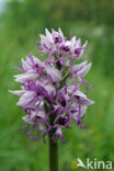 Aapjesorchis (Orchis simia)
