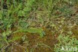 Smaragdhagedis (Lacerta viridis)
