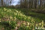 Slanke sleutelbloem (Primula elatior)