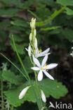 Grote graslelie (Anthericum liliago)