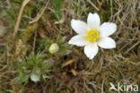 Voorjaarsanemoon (Pulsatilla vernalis)