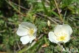 Duinroosje (Rosa pimpinellifolia)