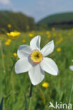 Witte narcis