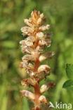 Klavervreter (Orobanche minor)