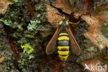 Hoornaarvlinder (Sesia apiformis)