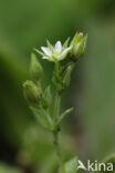 Gewone zandmuur (Arenaria serpyllifolia)