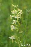 welriekende x bergnachtorchis (Platanthera x hybrida)