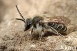 Geelstaartklaverzandbij (Andrena wilkella)
