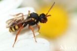 Bonte wespbij (Nomada bifasciata)