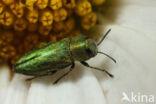 Blinkende Prachtkever (Anthaxia nitidula)