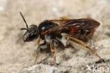 Knautiabij (Andrena hattorfiana)