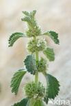 Malrove (Marrubium vulgare)