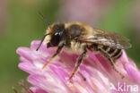 Klaverbehangersbij (Megachile ligniseca)