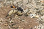 grote rupsendoder (ammophila sabulosa)