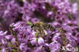 Heidezandbij (Andrena fuscipes)