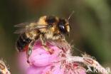 Ericabij (Megachile analis)