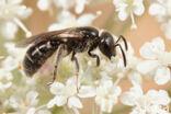 Kleigroefbij (Lasioglossum pauxillum)