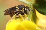 Kleine harsbij (Anthidiellum strigatum luteum)