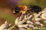 Megachile sculpturalis