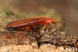 Hylecoetus dermestoides