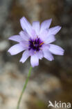 Blauwe strobloem (Catananche caerulea)