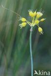 gele look (Allium flavum)
