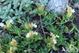 Berggamander (Teucrium montanum)