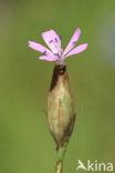 Slanke mantelanjer (Petrorhagia prolifera)