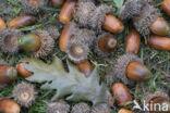 Moseik (Quercus cerris)