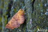 Iepentakvlinder (Ennomos autumnaria)
