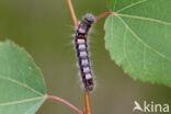 Kleine wapendrager (Clostera anachoreta)