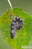 Schilddrager (Acronicta megacephala)
