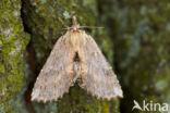 Snuitvlinder (Pterostoma palpina)