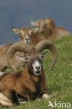 Europese Mouflon (Ovis orientalis)