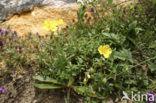 Groot zonneroosje (Helianthemum nummularium nummularium)