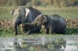 Aziatische olifant (Elephas maximus)
