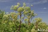 Grote engelwortel (Angelica archangelica)