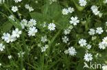 Akkerhoornbloem (Cerastium arvense)