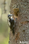 Drieteenspecht (Picoides tridactylus)