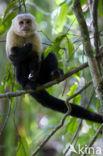 Witschoudercapucijnaap (Cebus capucinus)