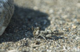 Blauwvleugelsprinkhaan (Oedipoda caerulescens)