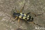 Gevlekte Smalbok (Leptura maculata)