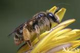 Paardenbloembij (Andrena humilis)