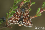 Roodbont heide-uiltje (Anarta myrtilli)